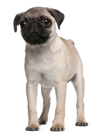 pups: Pug puppy, 3 months old, standing in front of white background Stock Photo
