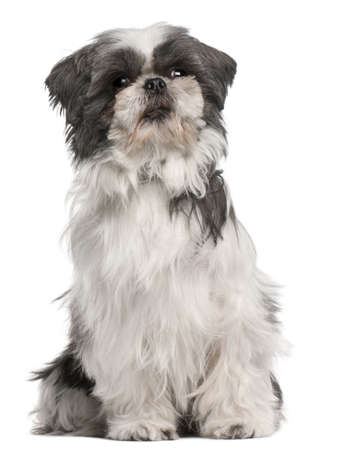 Shih tzu, 3 years old, sitting in front of white background Stock Photo - 8210985