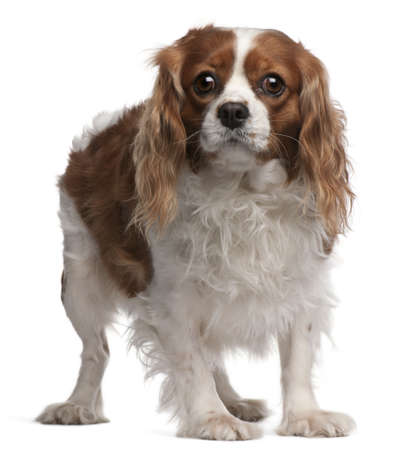 Cavalier King Charles Spaniel, 3 years old, standing in front of white background photo