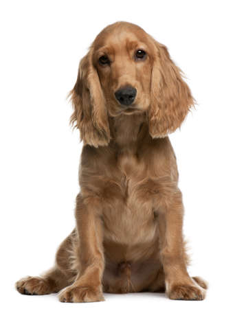 old english: English Cocker Spaniel puppy, 5 months old, sitting in front of white background