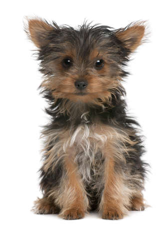 yorkshire terrier: Yorkshire Terrier puppy, 3 months old, sitting in front of white background Stock Photo