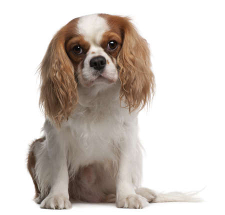 cavalier: Cavalier King Charles Spaniel, 3 years old, sitting in front of white background