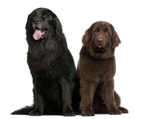 black and white newfoundland dog: Newfoundland dogs, 7  and 10 years old, sitting in front of white background