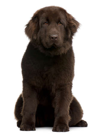 Brown Newfoundland puppy, 10 months old, sitting in front of white background photo