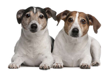 lying on side: Jack Russell Terriers, 6 and 12 years old, lying in front of white background