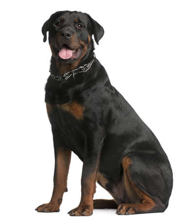 9 months: Rottweiler, 9 months old, sitting in front of white background