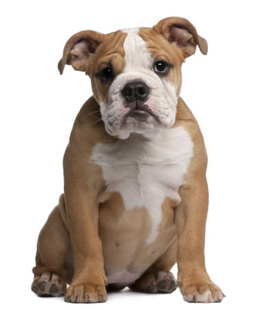english bulldog: English Bulldog  puppy, 4 months old, sitting in front of white background Stock Photo