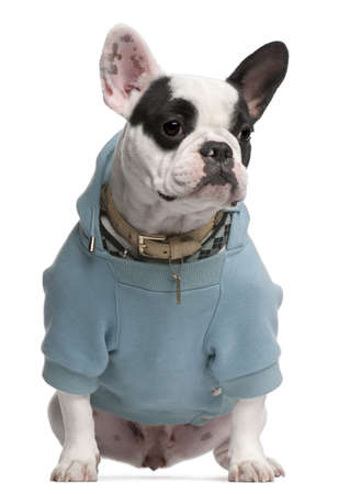 no shirt: French Bulldog wearing blue hooded sweatshirt, 18 months old, sitting in front of white background
