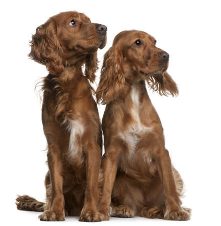 cocker: American Cocker Spaniels, 2 years old and 9 months old, sitting in front of white background Stock Photo
