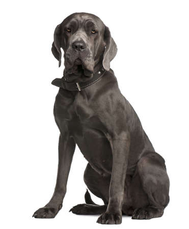mastiff: Neapolitan Mastiff, 3 years old, sitting in front of white background