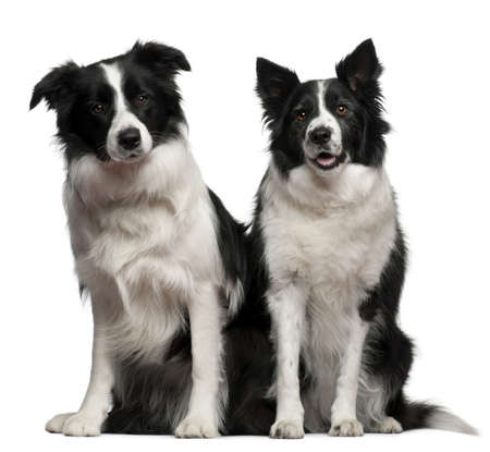 Border collies 1 and 9 years old, sitting in front of white background photo