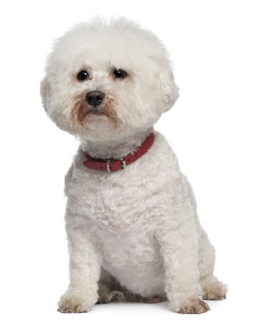 bichon: Bichon Frise, 13 years old, sitting in front of white background
