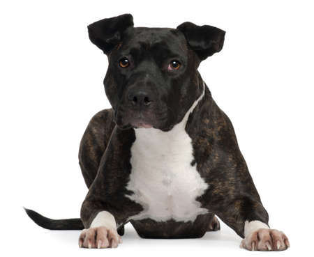 american staffordshire terrier: American Staffordshire Terrier, 2 years old, lying in front of white background