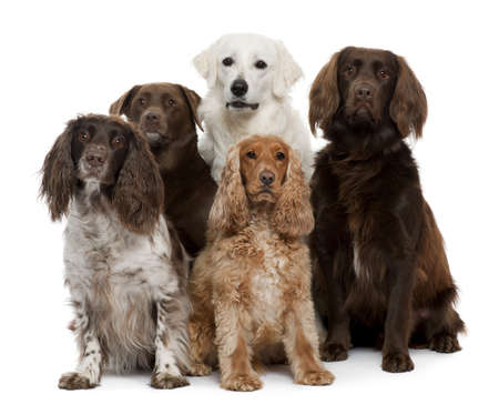 spaniel: Group of dogs, Labrador Retriever, American Cocker Spaniel, English Cocker Spaniel and Kuvask, in front of white background