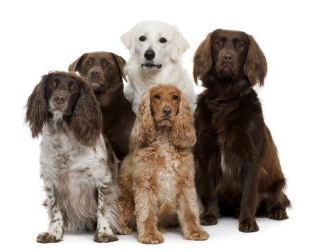 perro labrador: Grupo de perros, Labrador Retriever, American Cocker Spaniel, English Cocker Spaniel y Kuvask, en frente de fondo blanco