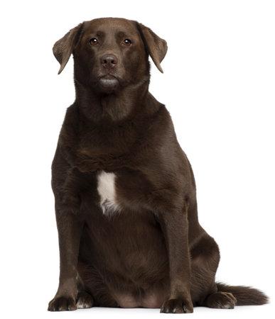 perro labrador: Grasa Labrador Retriever, 7 a�os de edad, sentado frente a fondo blanco  Foto de archivo