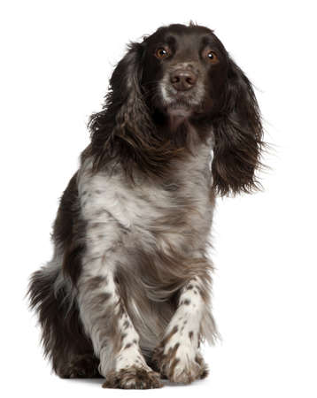 american cocker spaniel: American Cocker Spaniel with windblown hair, 2 years old, sitting in front of white background