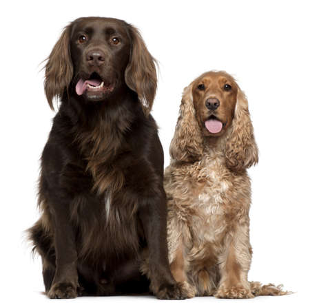 Labrador Retriever and English Cocker Spaniel, 6 and 9 years old, sitting in front of white background photo