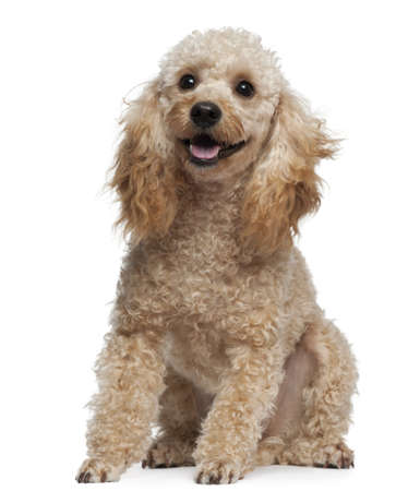 Poodle, 9 years old, sitting in front of white background