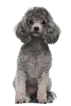 Poodle, 4 años de edad, sentado frente a fondo blanco