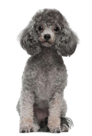 poodle: Poodle, 4 years old, sitting in front of white background
