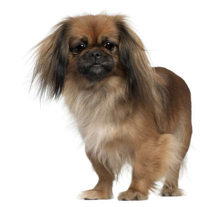 Pekingese, 2 and a half years old, standing in front of white background Stock Photo - 8211014