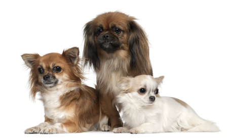 1 2 years: Chihuahuas and Pekingese, 1, 2, and 2 and a half years old, in front of white background Stock Photo