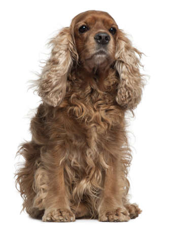 English Cocker Spaniel with windblown hair, 8 years old, sitting in front of white background photo