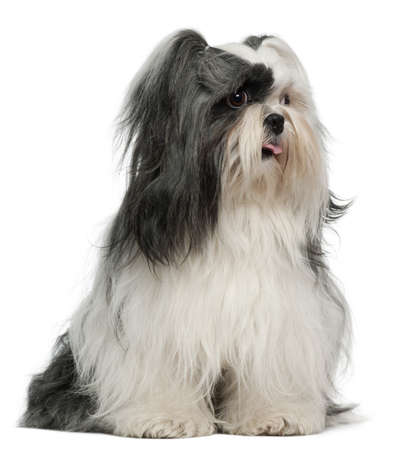 Lhasa Apso, 3 years old, sitting in front of white background photo