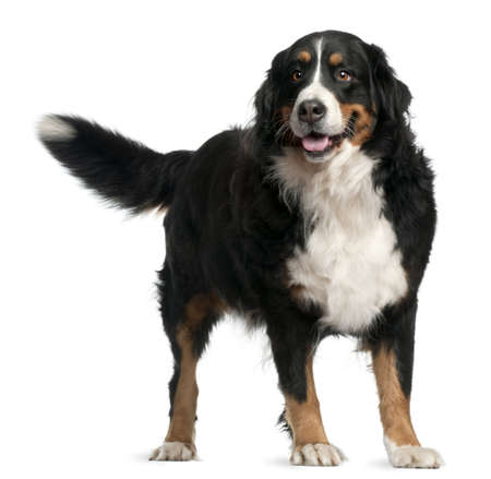 Bernese mountain dog, 4 years old, standing in front of white background photo