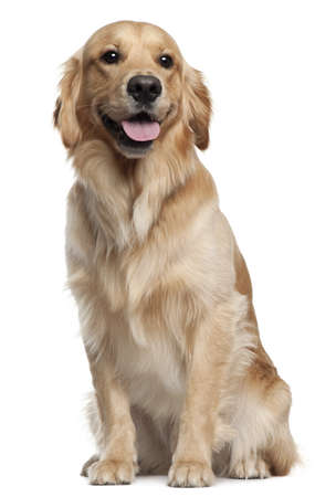 golden: Golden Retriever, 1 and a half years old, sitting in front of white background Stock Photo