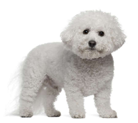 bichon: Bichon Frise, 5 years old, standing in front of white background