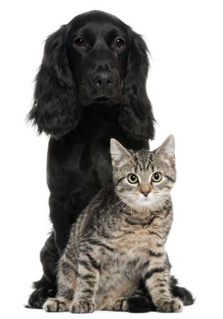 Cocker Spaniel and European Cat, 5 and 4 years old, sitting in front of white background photo