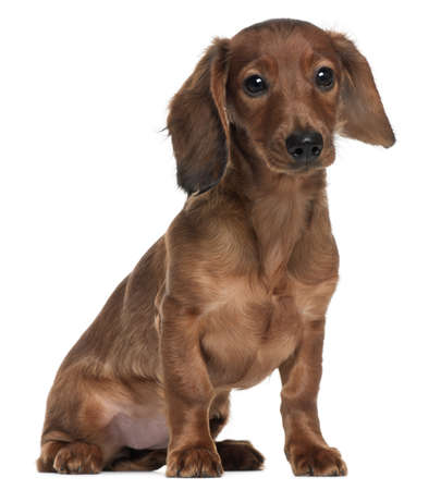 Dachshund, 5 months old, sitting in front of white background Stock Photo - 8210388