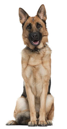 German Shepherd, 14 months old, sitting in front of white background