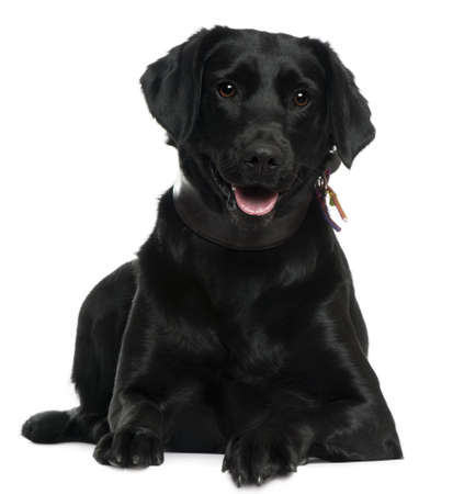 Labrador, 2 years old, lying in front of white background photo