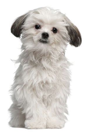 Lhasa Apso, 7 months old, standing in front of white background Stock Photo - 8211010