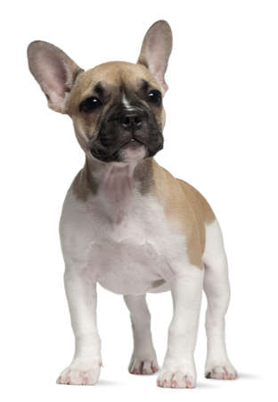 English Bulldog puppy, 3 months old, standing in front of white background Stock Photo - 8210720