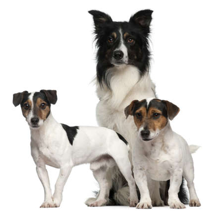 Border Collie  and Jack Russells, 7, 5, and 3 years old, in front of white background photo
