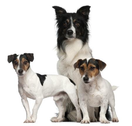 dogs sitting: Frontera Collie y Jack Russell, 3, 5 y 7 a�os de edad, en frente de fondo blanco