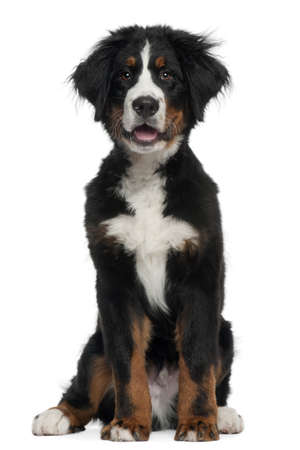 Bernese Mountain Dog, 5 months old, sitting in front of white background Stock Photo - 8211093