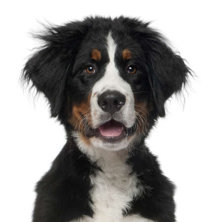 Bernese Mountain Dog, 5 months old, in front of white background photo