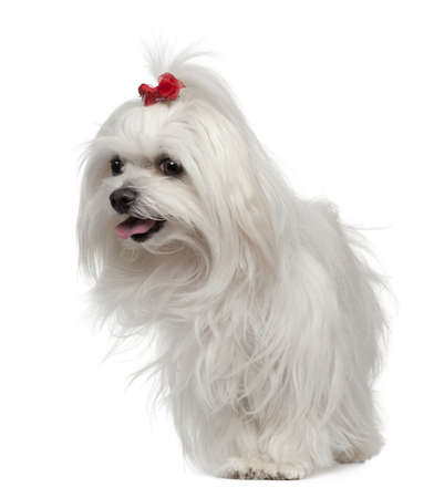 Maltese, 3 years old, standing in front of white background photo