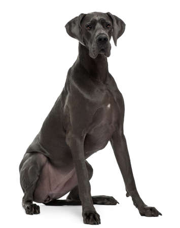 Great Dane, 15 months old, sitting in front of white background photo