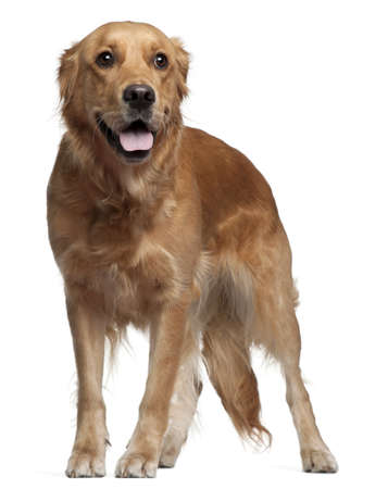 Golden Retriever, 15 months old, standing in front of white background photo