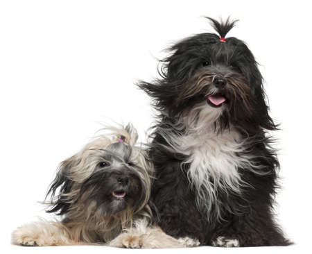 wind down: Tibetan Terriers with windblown hair, 2 and a half years old and 1 year old, in front of white background
