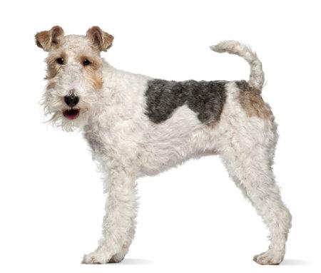 old year: Fox terrier, 1 anno di et�, in piedi davanti a sfondo bianco