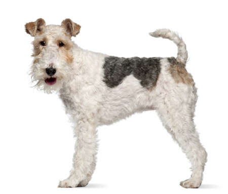 terriers: Fox terrier, 1 year old, standing in front of white background Stock Photo