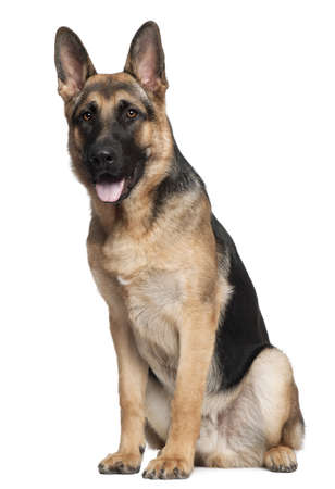 German Shepherd, 7 months old, sitting in front of white background