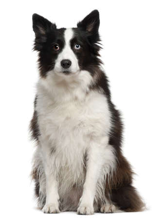 Border Collie, 11 months old, sitting in front of white background photo